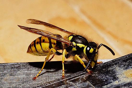 Увидев насекомое, нельзя провоцировать его на защитную агрессию