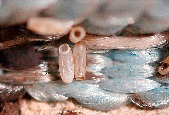 Яйца паразита очень мелкие