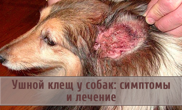 Проявления отодектоза у собак и принципы его лечения