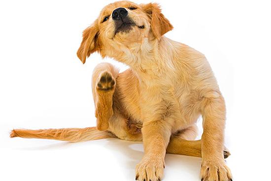 Если животное стало слишком часто чесать уши – покажите его ветеринару