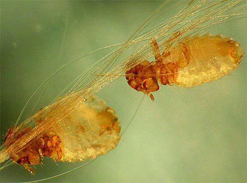 Власоед (паразит собаки) похож на вошь, но имеет несколько другие челюсти и форму тела
