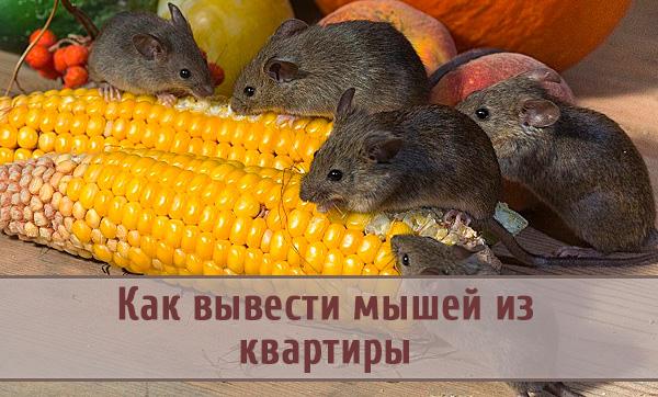 Как эффективно вывести мышей из квартиры