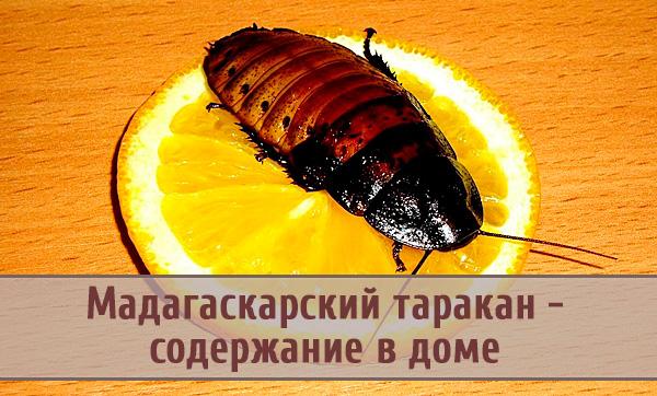 Мадагаскарские шипящие тараканы: особенности содержания в домашних условиях