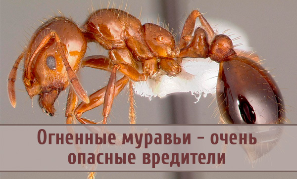 Огненный муравей: ни одного слова в защиту