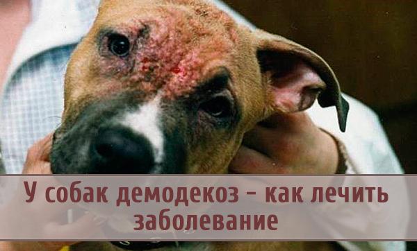 Демодекоз у собаки: как распознать и лечить?