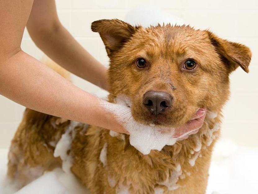 Регулярные ванны со специальными шампунями предотвратят поражение клещом