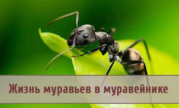 Особенности жизни маленьких тружеников – муравьев