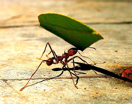 Рабочий несет в муравейник пищу, вес которой превышает вес его самого