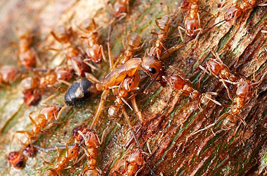 В жизни муравьев есть и битвы, и завоевания