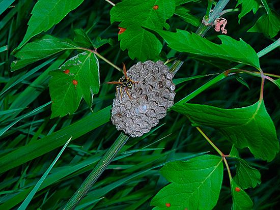 Гнездо может быть небольшим, трудно заметным