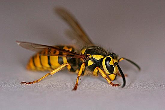 Нападая группой, эти насекомые могут причинить множественные укусы, иногда приводящие к летальному исходу