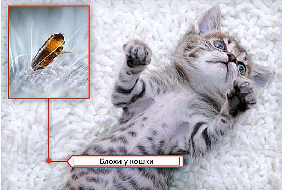 Каплями можно выводить блох даже у котят, если это указано на этикетке