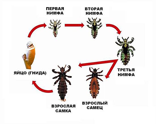 Средство должно быть действенным против всех стадий насекомого