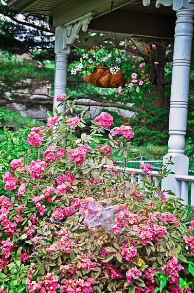 Кусты роз болеют и погибают из-за атаки насекомого