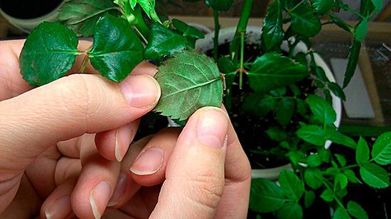 Искать место проживания вредителя нужно на обратной стороне листьев