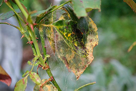 Поврежденный стебелек с листьями уже невозможно спасти
