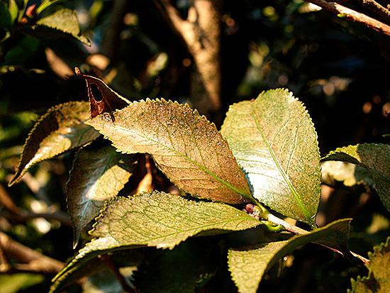 Пораженные листья меняют цвет, скручиваются, опадают