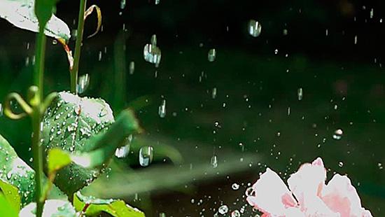 Правильный полив предотвратит заражение паутинным клещом