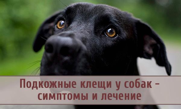 Обнаружение и лечение подкожных клещей у собак