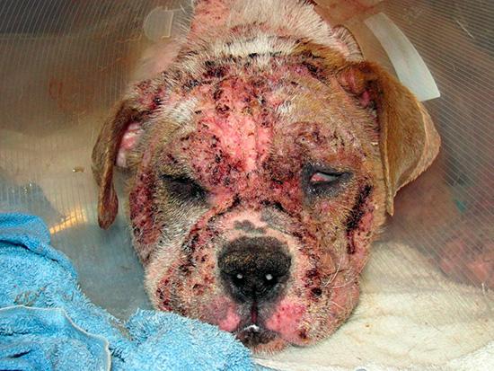 Тяжелая форма болезни приносит животному много страданий