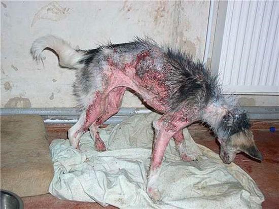 Заболевшие животные чаще всего истощены голодом или плохим уходом