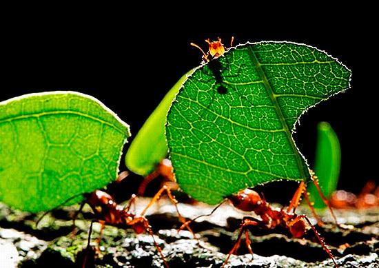 Процесс размножения у муравьев уникален
