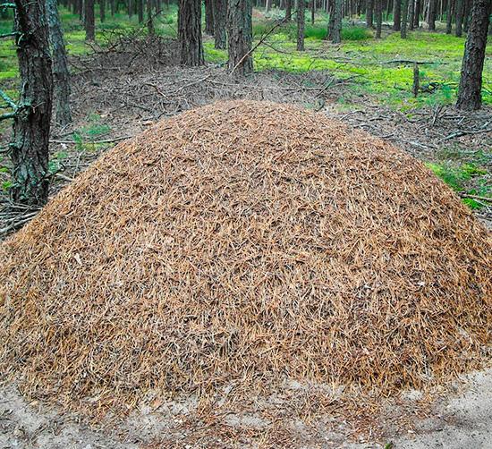 Крупный муравейник