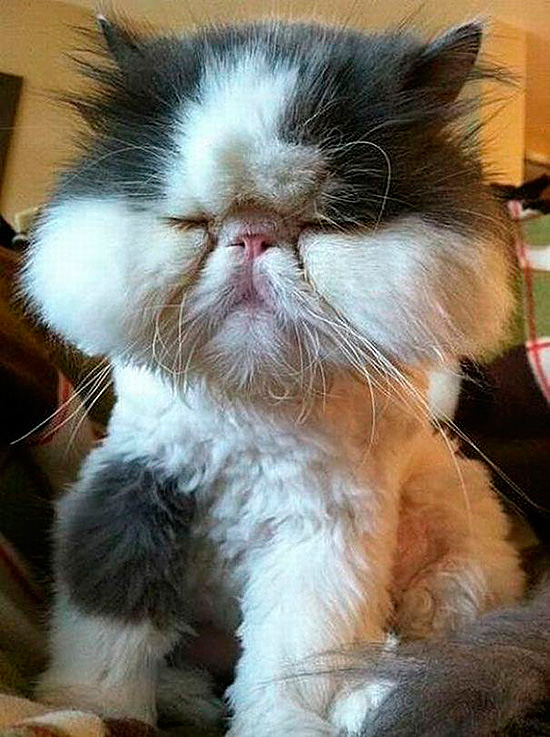 Если кошка пушистая, хозяин не сразу заметит отек