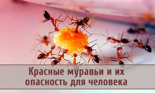 Опасность распространения красных муравьев в доме человека