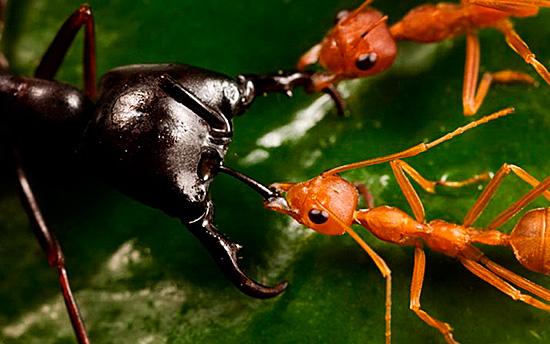 Эти насекомые не боятся более крупных животных