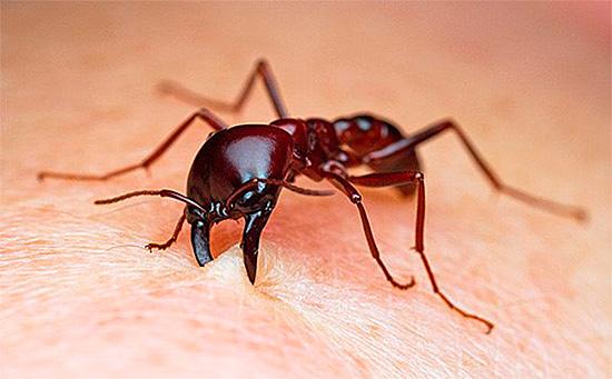 Укус насекомого болезненный и часто вызывает аллергию