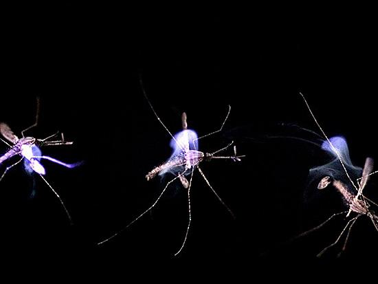 Лазер действует таким образом, что температура тела насекомого повышается, и оно погибает