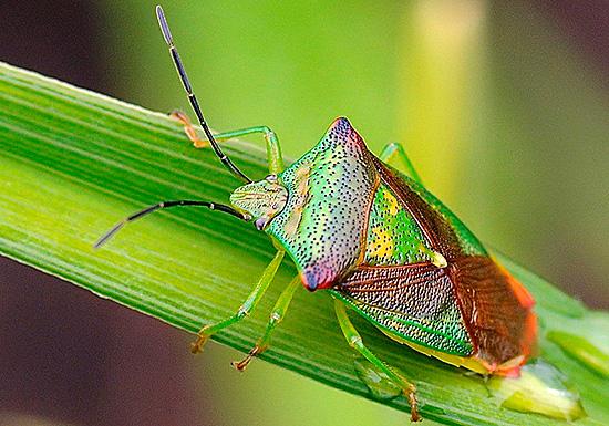 Крылья эти насекомые прячут под прочным панцирем