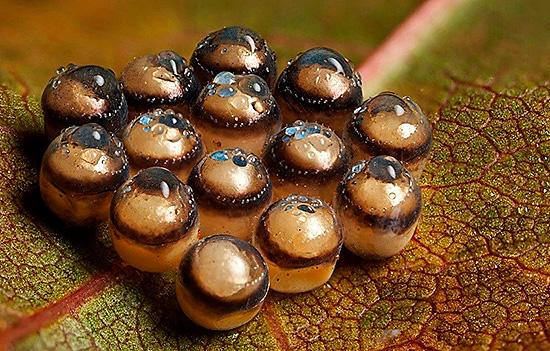 Яйца щитников выглядят очень интересно
