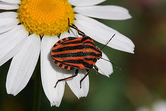 Почти каждый встречал красивого полосатого жука в саду или в поле