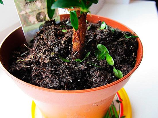 Мошкара часто заводится в земле комнатных растений