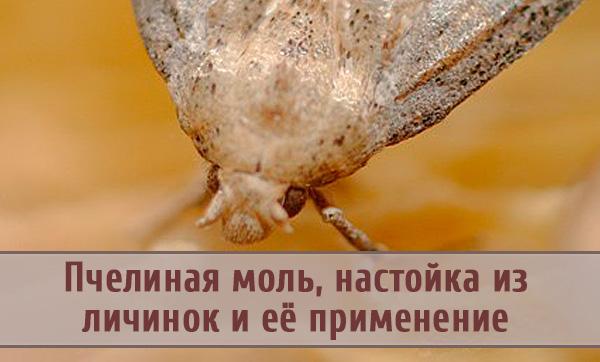 Польза и вред пчелиной моли для человека