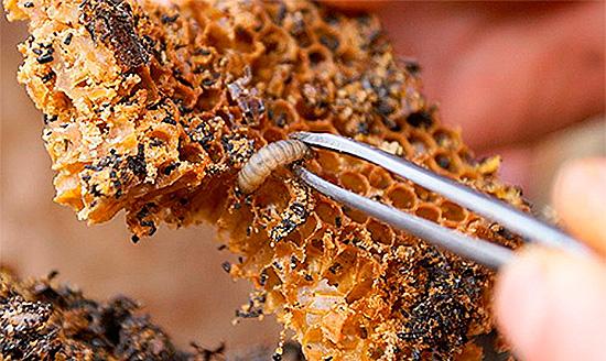 Личинка выделяет запах, из-за которого пчелы покидают улейЛичинка выделяет запах, из-за которого пчелы покидают улей