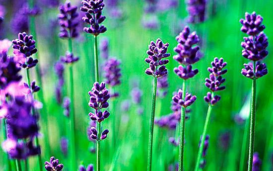 Запахи лаванды и других трав муравьи просто не переносят