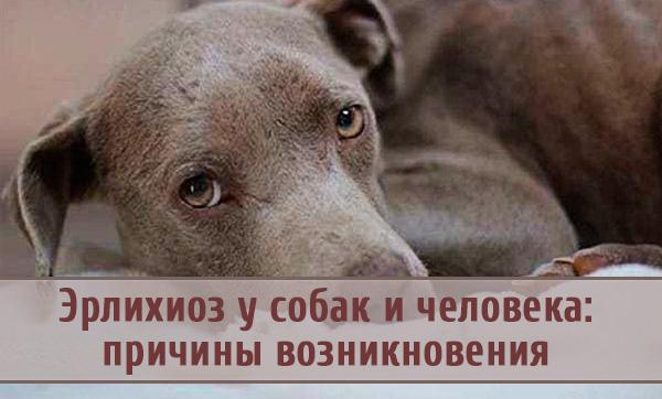 Чем грозит эрлихиоз собаке и человеку