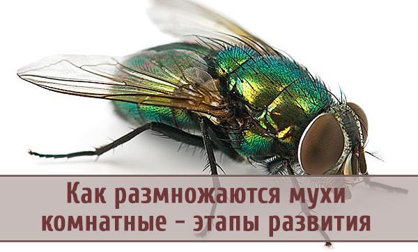 Этапы развития и размножения комнатной мухи