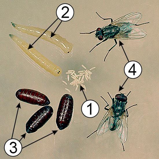 1 – яйца; 2 – личинки; 3 – куколки; 4 – взрослые особи