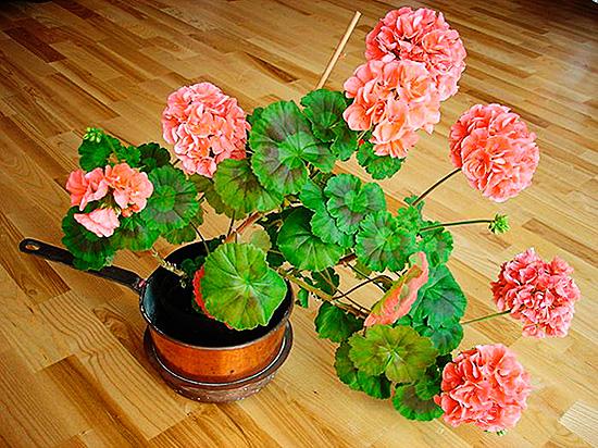 Красивый и полезный цветок поможет вывести вредителей из дома