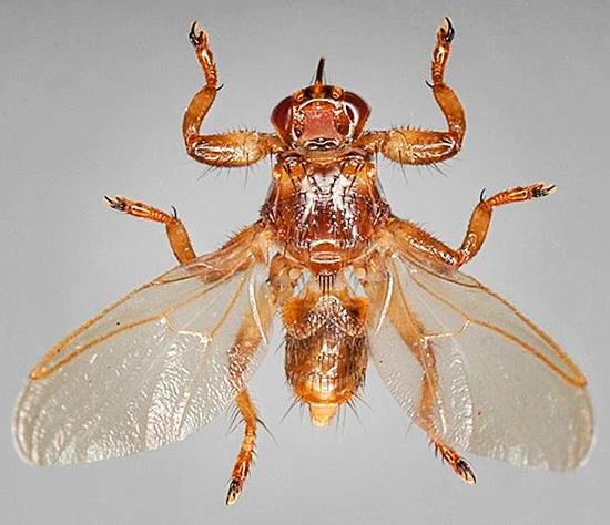 Оленья кровососка сильно напоминает таежного клеща, но имеет крылья и способна летать