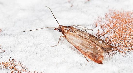 Пищевая разновидность насекомого портит продукты