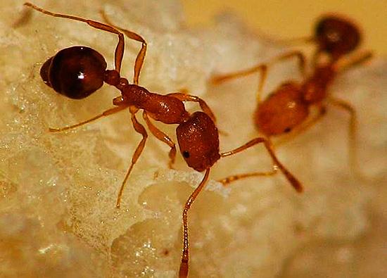 Разновидность муравья, встречающаяся в человеческом жилье