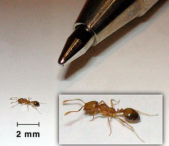 Совершенно крошечное насекомое может приносить море неприятностей