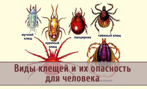 Разновидности клещей и их опасность для человека