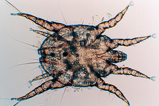 Ушной вид тоже живет на коже, только заражает в основном собак и кошек