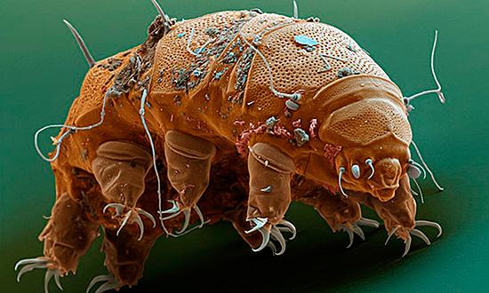 Постельная разновидность этих паразитов при большом увеличении выглядит устрашающе